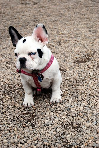 Canined Black White French Bulldog Puppy Dog Pictures Us Nyc 28