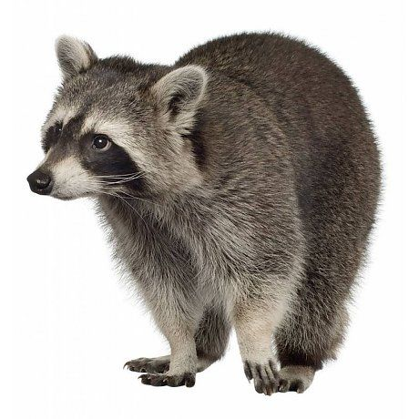 Kek Amsterdam Walltattoo raccoon Forest Friend, 25x25cm