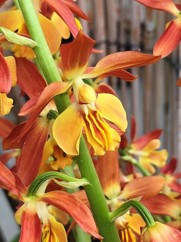Calanthe orchidée rustique orchidacées plante vivace sur mon balcon parisien au début du