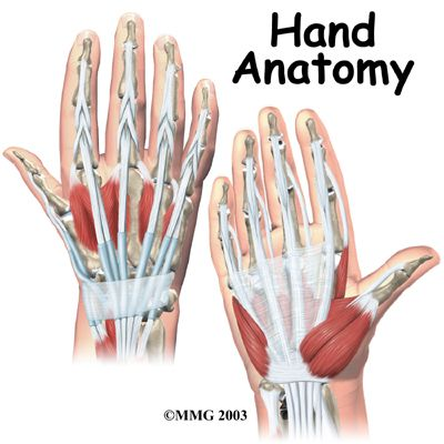 The Amazing Anatomy Of Our Hands All Tendons And Not Many Muscles