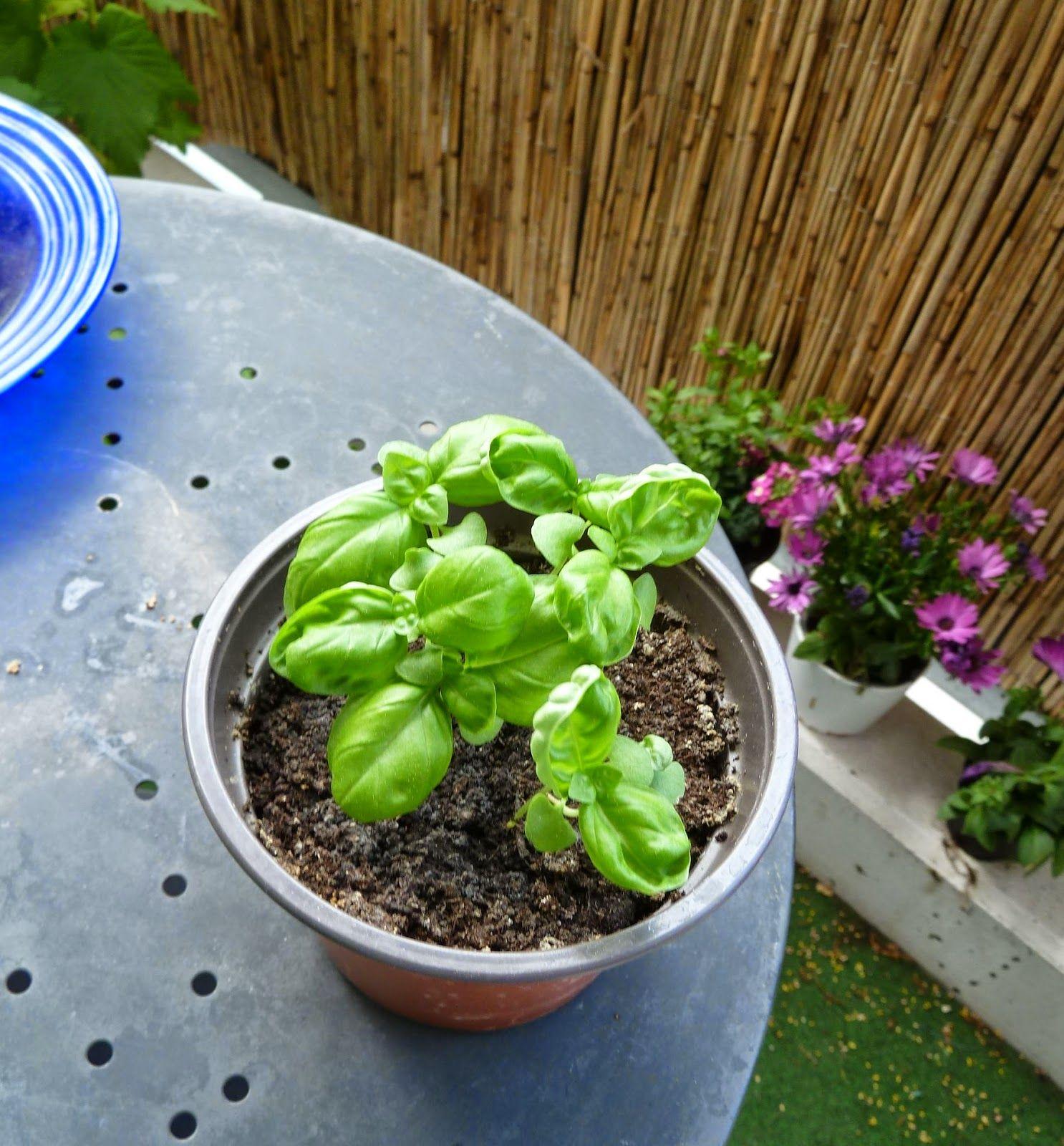 Gemüse & Naschen: Gesätes Basilikum