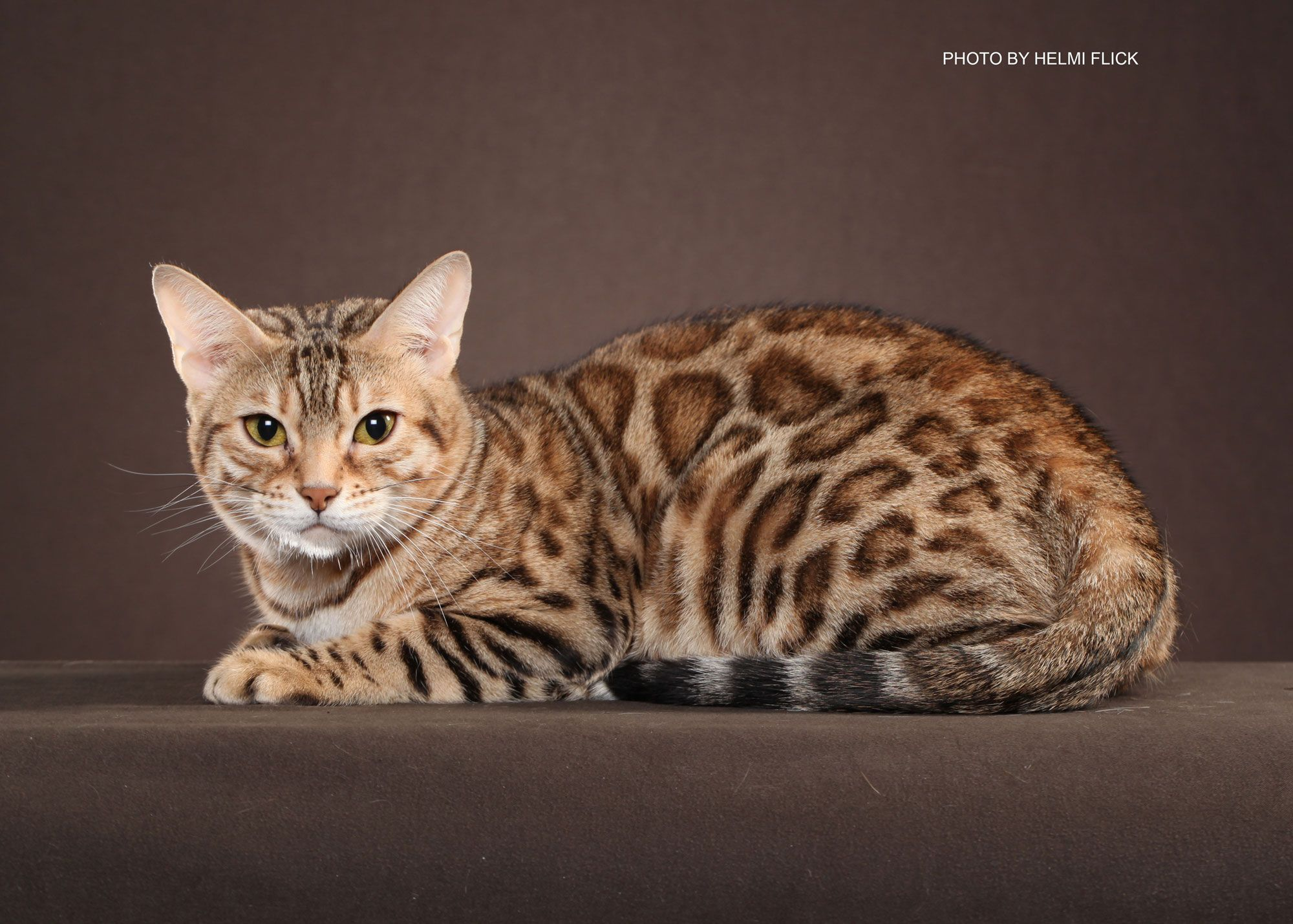Bengal Cat Rescue Basic Principles | CatsSky | OCEALOT | Pinterest ...