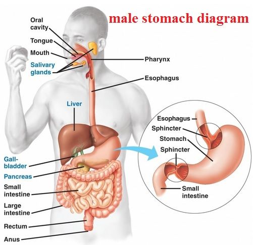 Stomach Diagram Anatomy Health Anatomy Diagrams Male Stomach