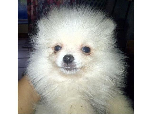 Pedigree Pomeranian Boy Paarl Puppies Puppies Puppies For