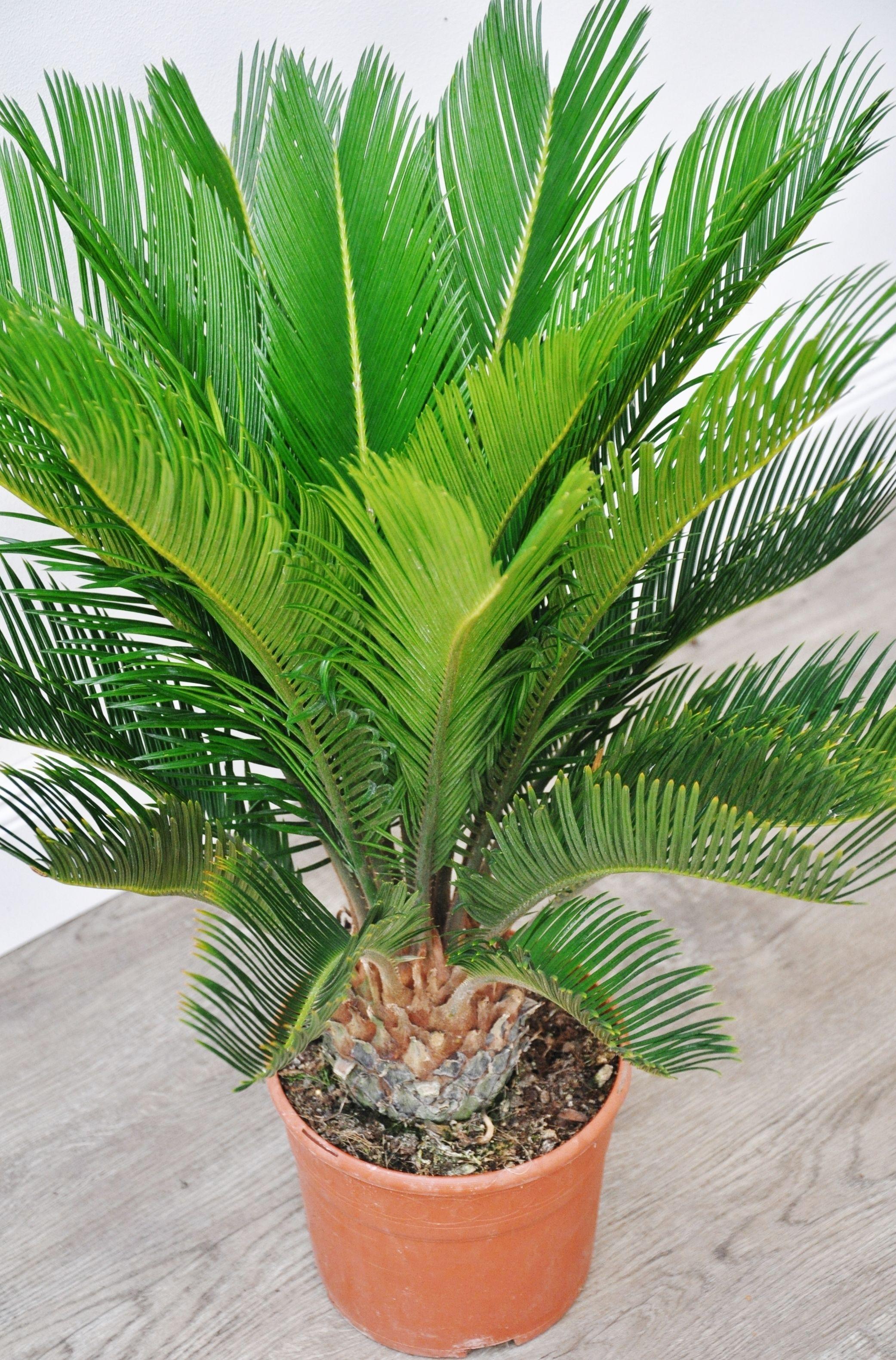 Palmfarn Sago Palme Kaktus Palmen Pflanzen