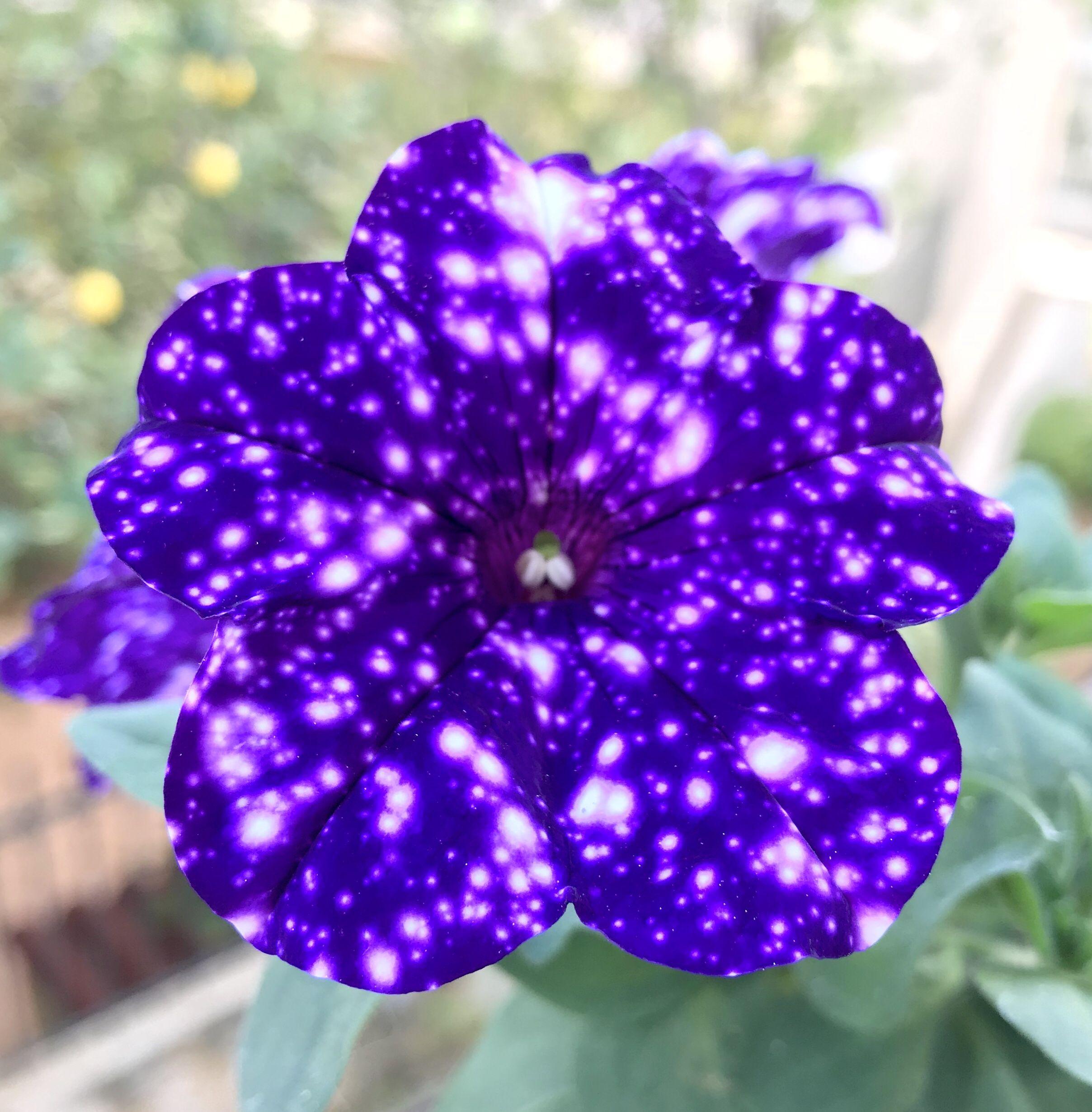 Petunia Cultivars Night Sky Galaxy Flowers Petunias Flowers