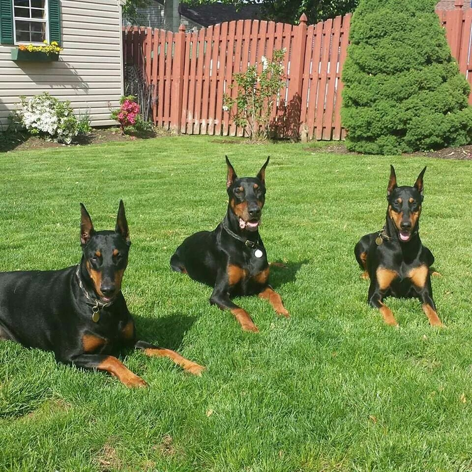 Black Doberman gang   Doberman dogs, Doberman, Doberman love