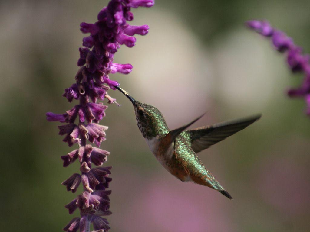 hummingbird hd wallpapers backgrounds wallpaper hd wallpapers