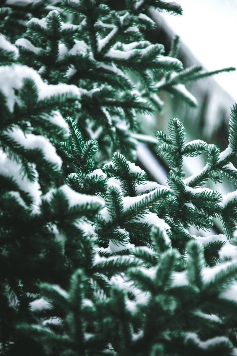 Close Up Photography Of Snow Covered Green Pine Trees With Images Wallpaper Iphone Christmas Iphone Wallpaper Winter Winter Wallpaper