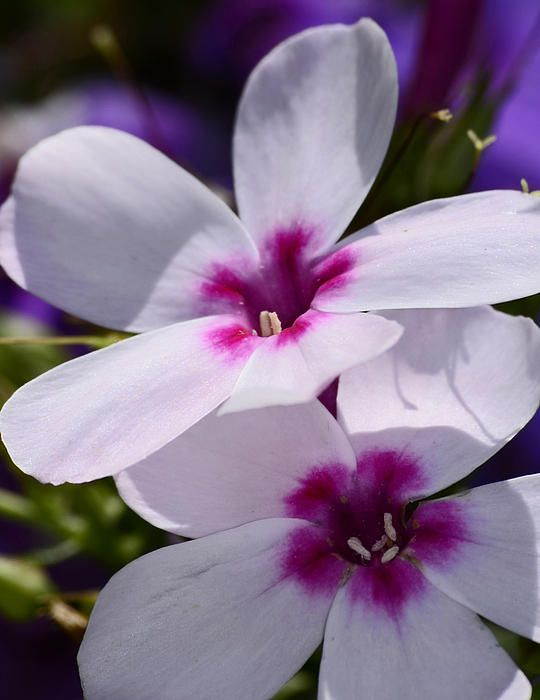 Summer Phlox by Lori Tambakis