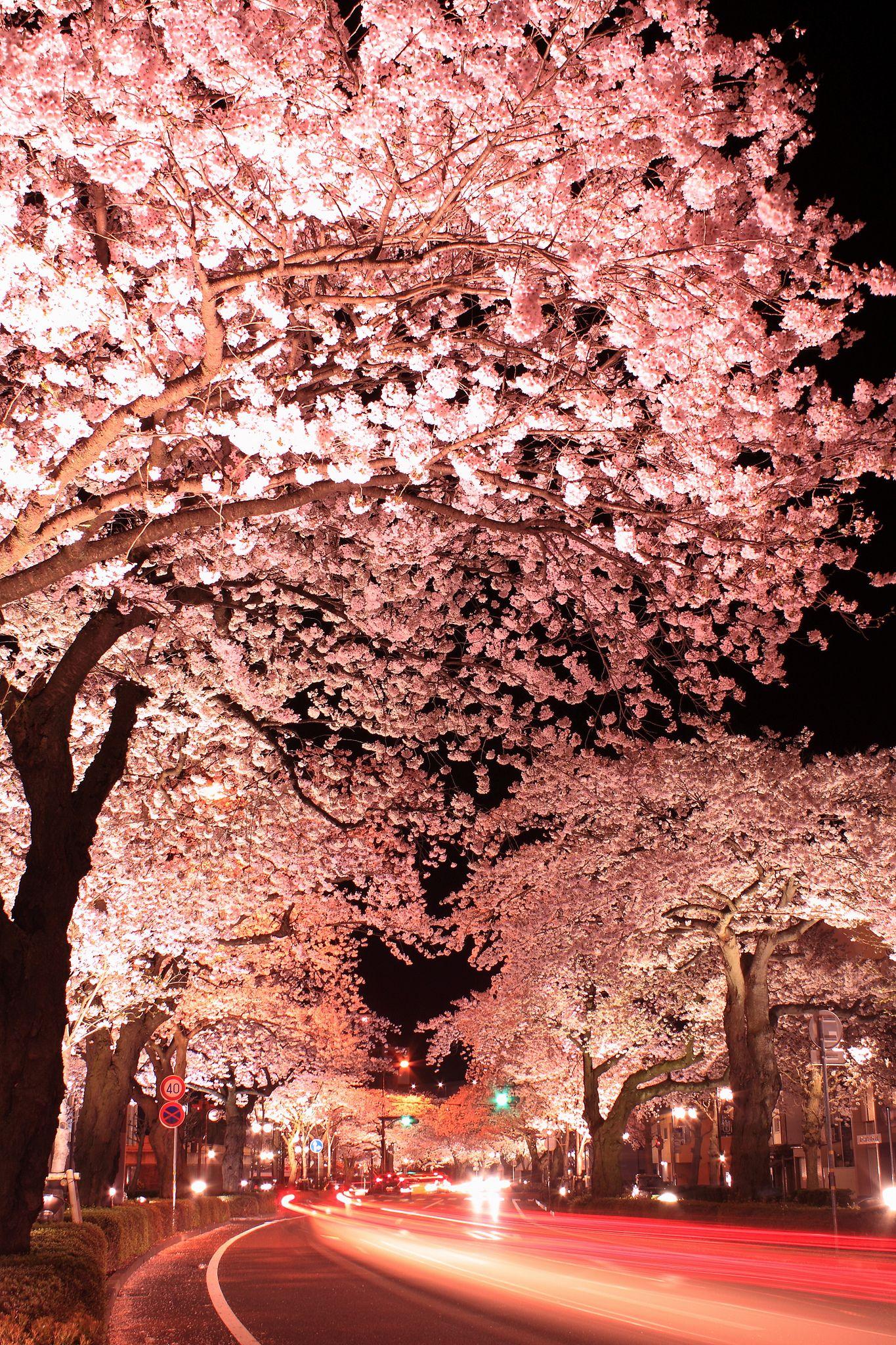 Night In Cherry Blossom Hitachi Ibaraki Japan Japanese Cherry Blossom Nature Beautiful Nature