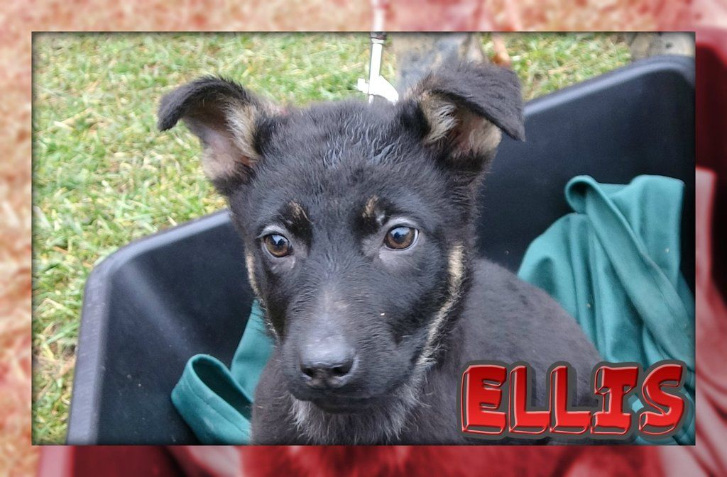 Ellis Female German Shepherd Full Price 450 Deposit Female