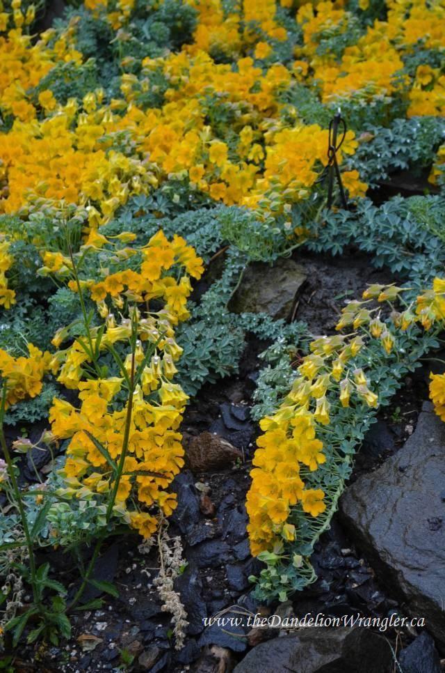 Perennial Nasturtium Tropaeolum Polyphyllum Pflanzen Aller Art