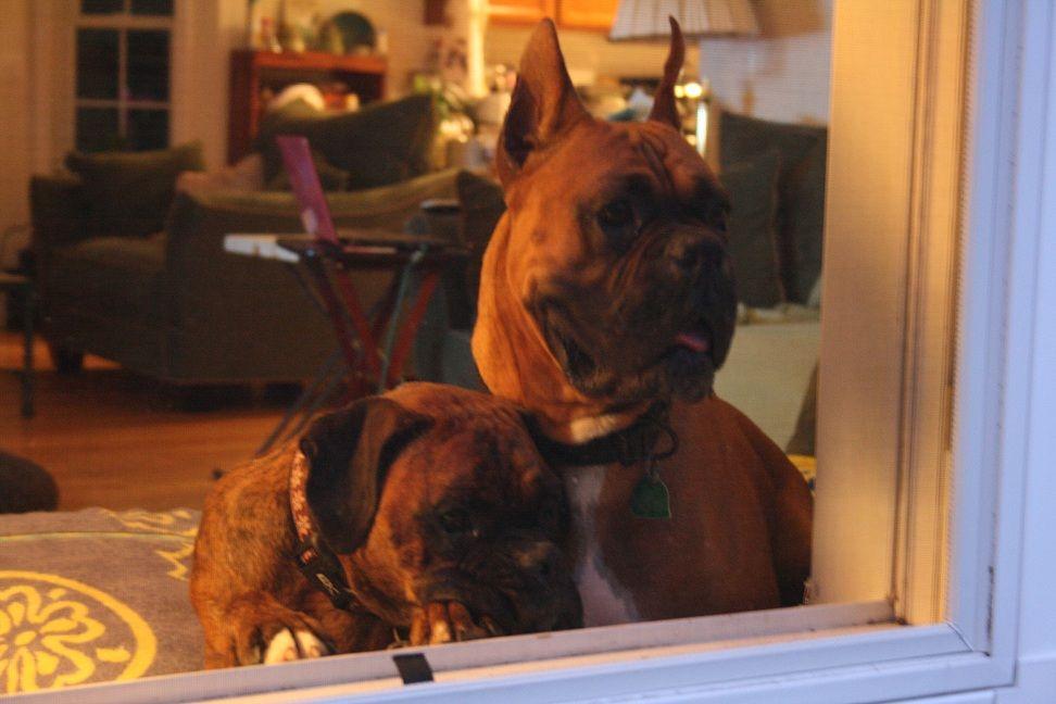 makes me miss my babies Boxer, Animals, Best friends