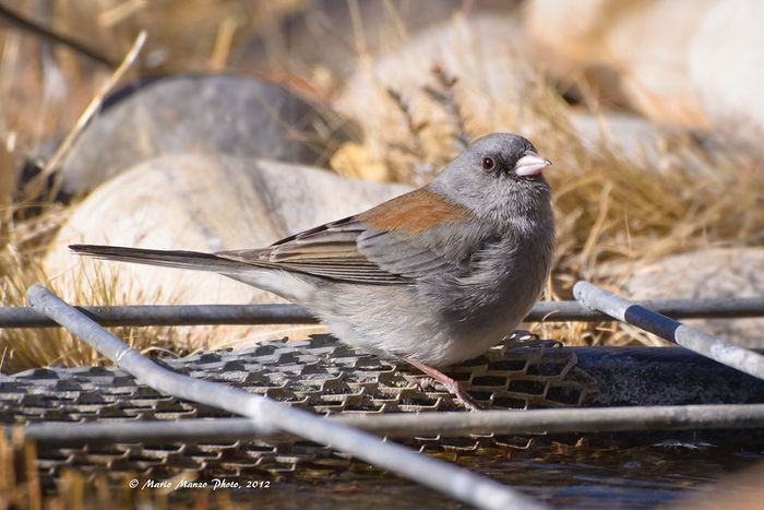 What's in your backyard? How to identify 11 Oregon birds ...
