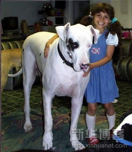 Biggest Dogs In The World Very Big Dog Giant Dogs Big Dogs