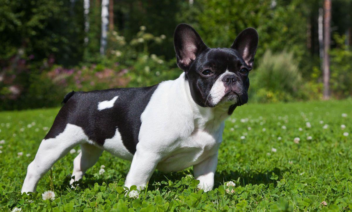 французская собака фото сочная мякоть