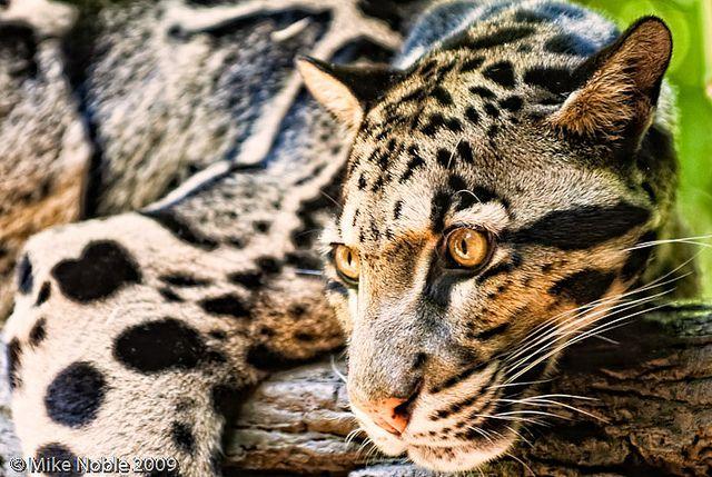 Clouded Leopard | Flickr – Compartilhamento de fotos!