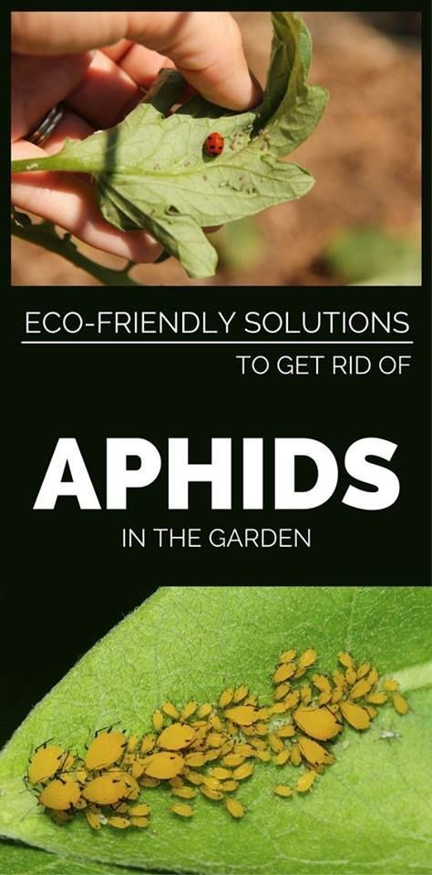 Simple aphid control aphid control
