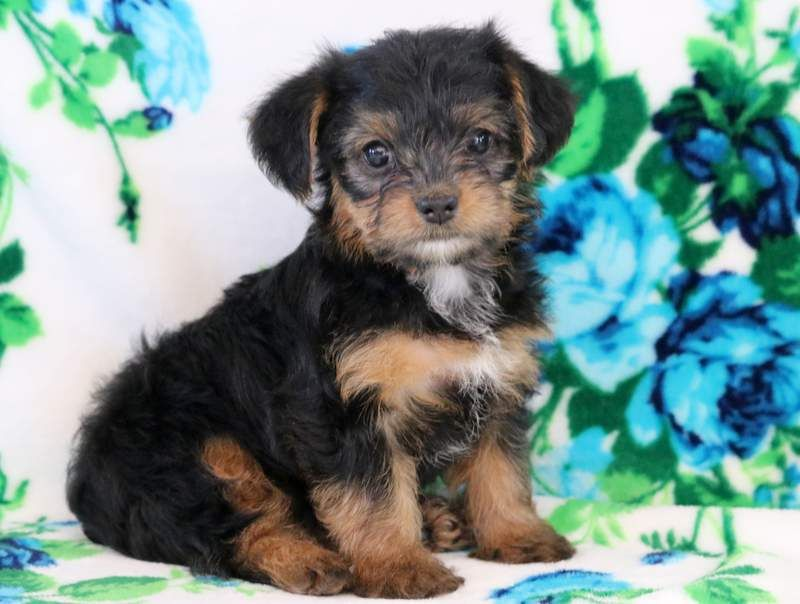 Minnie keystone puppies puppies for sale health