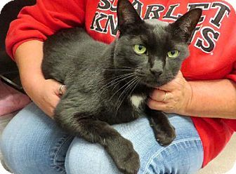 Westampton, NJ - Domestic Shorthair. Meet C-61289 Mr. Kitty (in foster), a cat for adoption. http://www.adoptapet.com/pet/11841608-westampton-new-jersey-cat