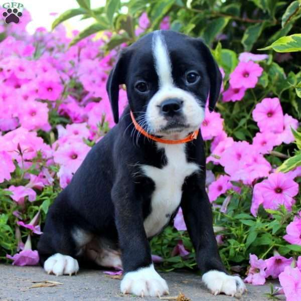 Keith Shih Tzu Mix Puppy For Sale In Pennsylvania Puppies Puppy Adoption Boston Terrier
