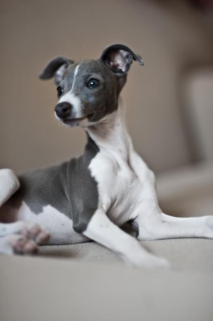 ~ Italian Greyhound Puppy ❤ ~