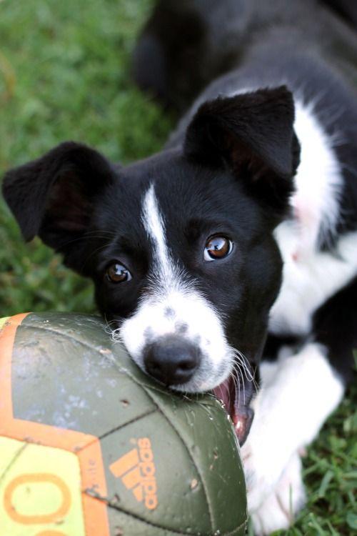 Pin By Sladjana Kapusi On Animals Cute Dogs Puppies Border