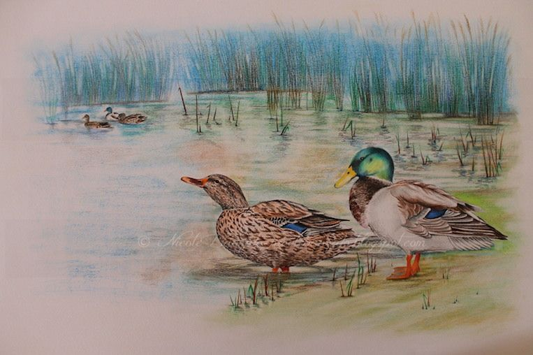 Nicole Banzato illustrator: Il Germano Reale- The Mallard Duck