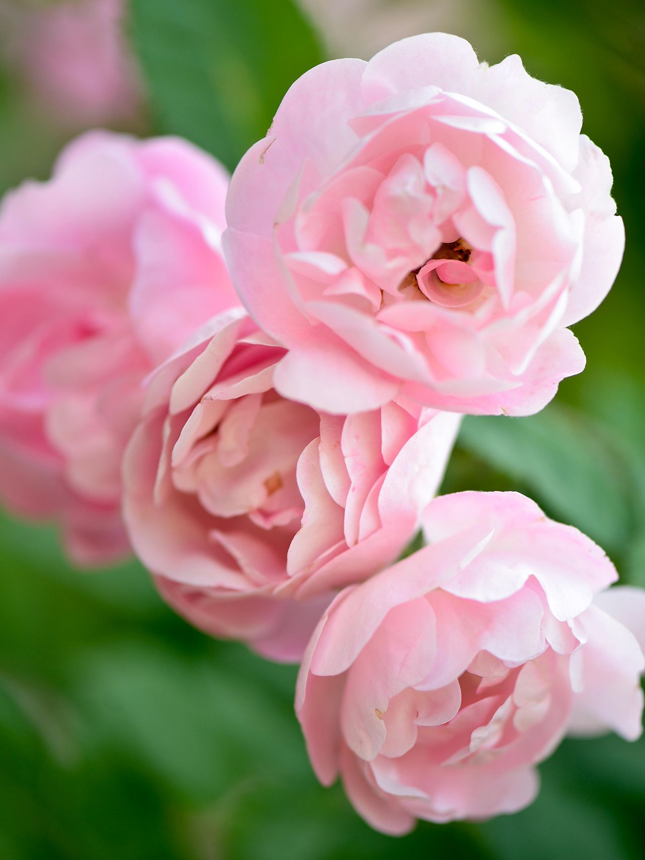 How To Grow Beautiful Antique Roses In Your Garden In 2020 Fragrant Roses Antique Roses Growing Roses