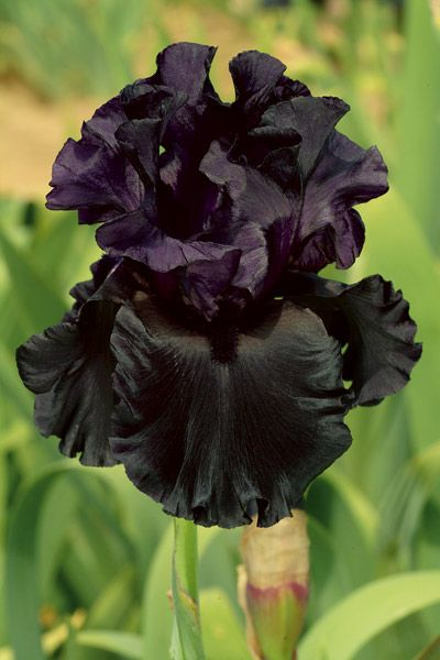 Pin On Black White Iris Gardening In Color Extremes