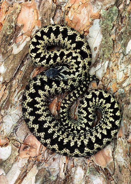 garter snake Google Search Garden snakes, Snake, Reptiles