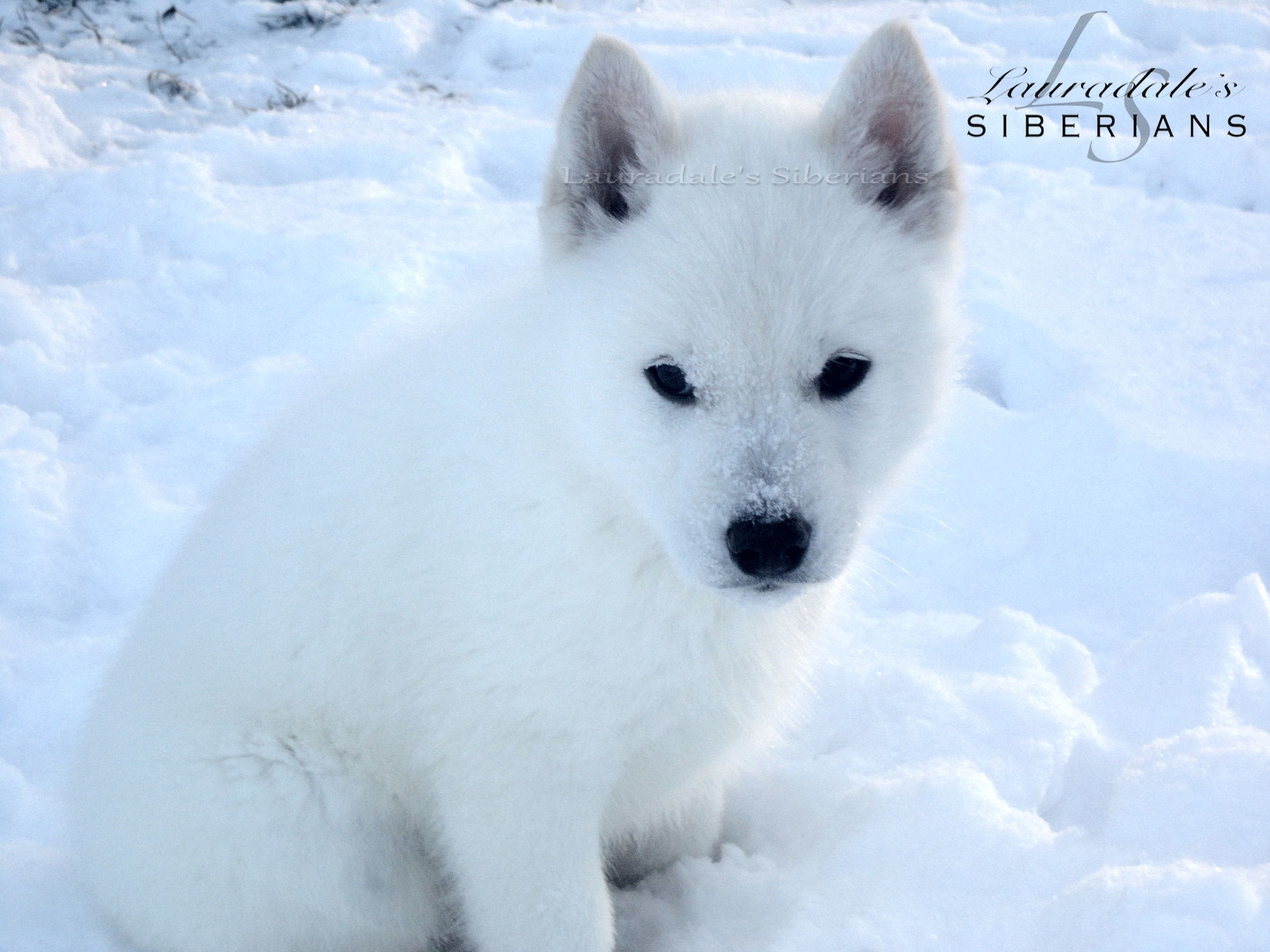 Siberian Husky Puppy Playing In The Snow Look How White He Is