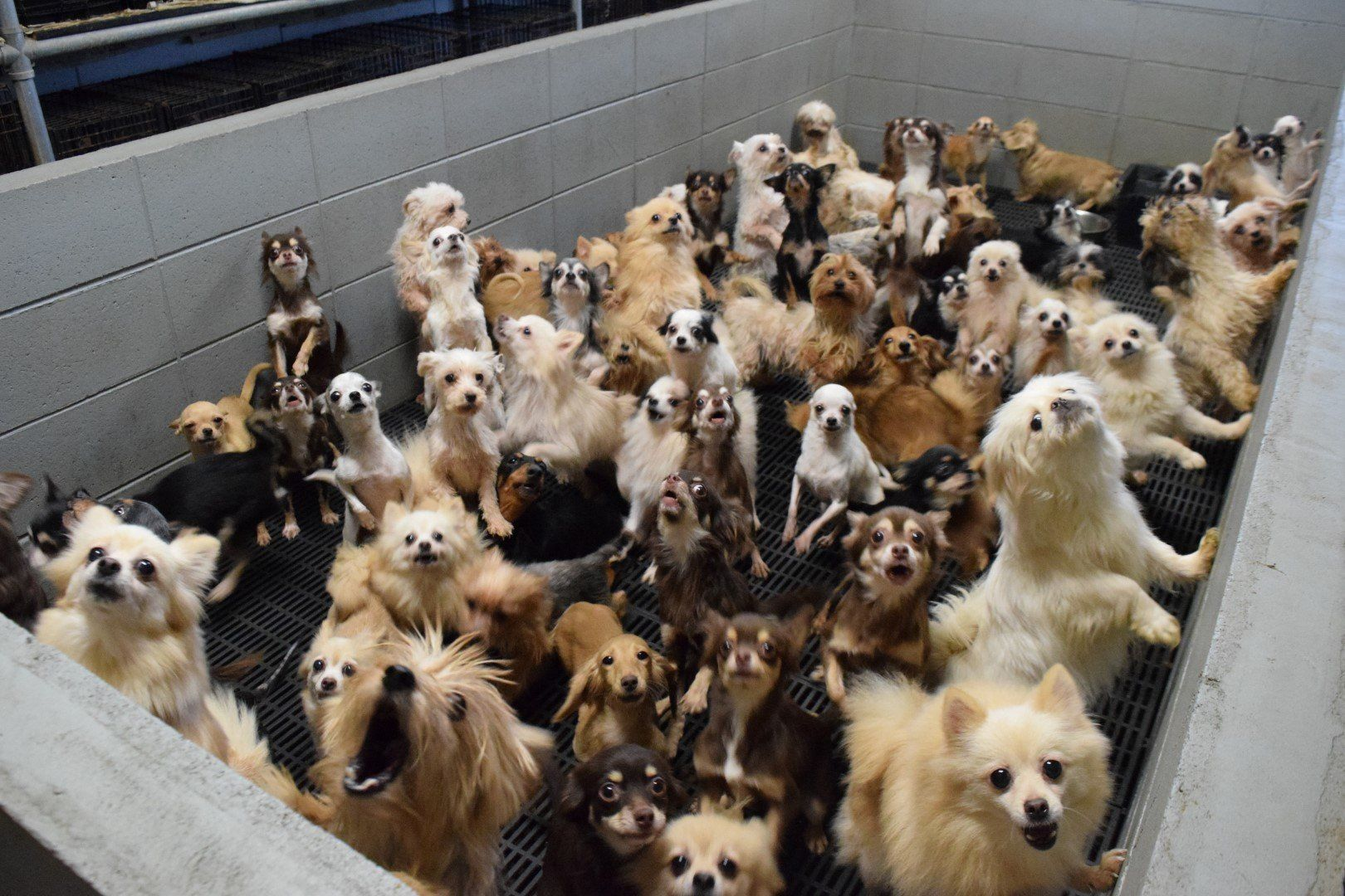ペットショップの闇 大量生産された子犬 子猫の残酷な現実 日刊spa ペットショップ 子犬 子猫