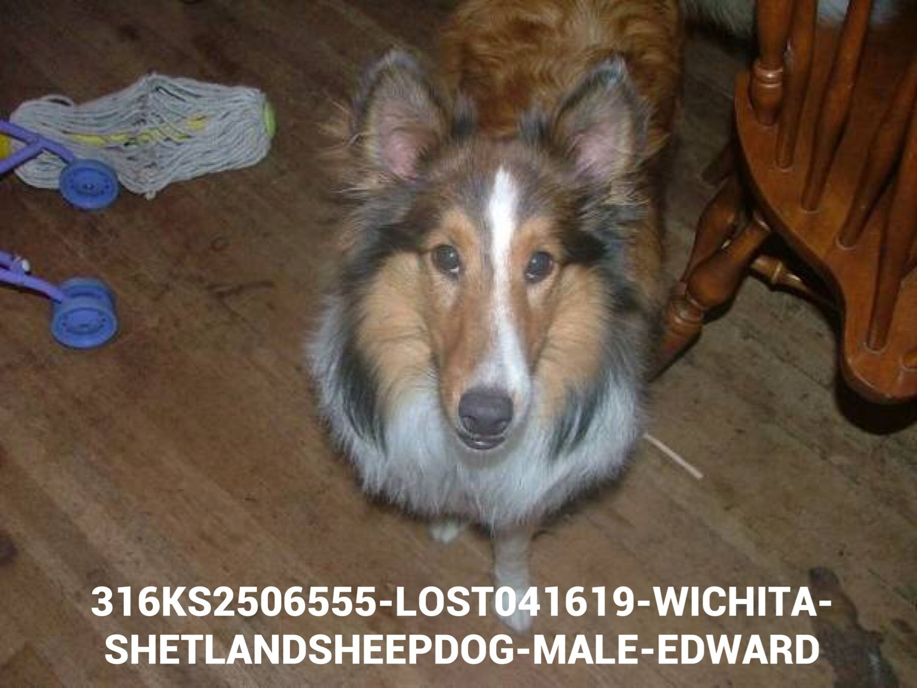 Pin By Us Lost Dog Registry On Lost And Found Pets Losing A Dog Dogs Shetland Sheepdog