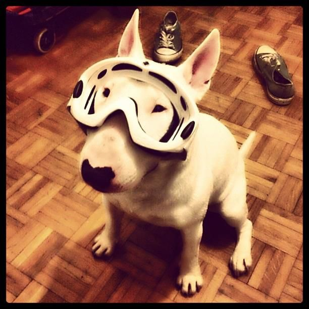ready for snowboarding - #BullTerrier #English #Bull #Terrier #Dog #FunnyPhoto #FunnyDog #Dogs #Bullie
