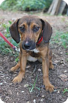 Waldorf Md Dachshund Mix Meet Portia A Puppy For Adoption