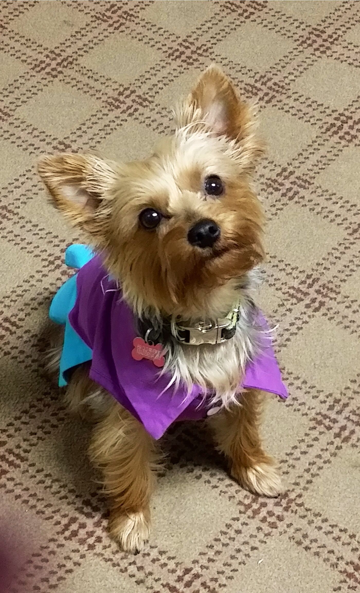 You want me to do what cats and dogs pinterest yorkies dog
