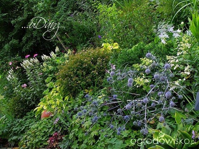 ...uDany ogród - strona 3 - Forum ogrodnicze - Ogrodowisko
