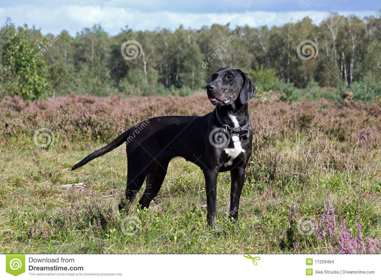 Black Catahoula Hound Dog Pictures Portret Of A Black Louisiana