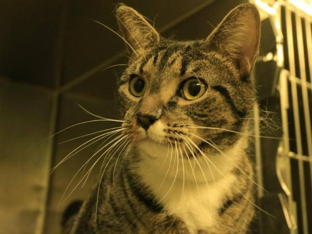 NYACC **URGENT** TO BE DESTROYED 7/10/14 Manhattan Center My name is POP CORNERS. My Animal ID # is A1004776. I am a neutered male brn tabby and white domestic sh mix. The shelter thinks I am about 3 YEARS old.   https://m.facebook.com/nycurgentcats/albums/823586064326049/?refid=17