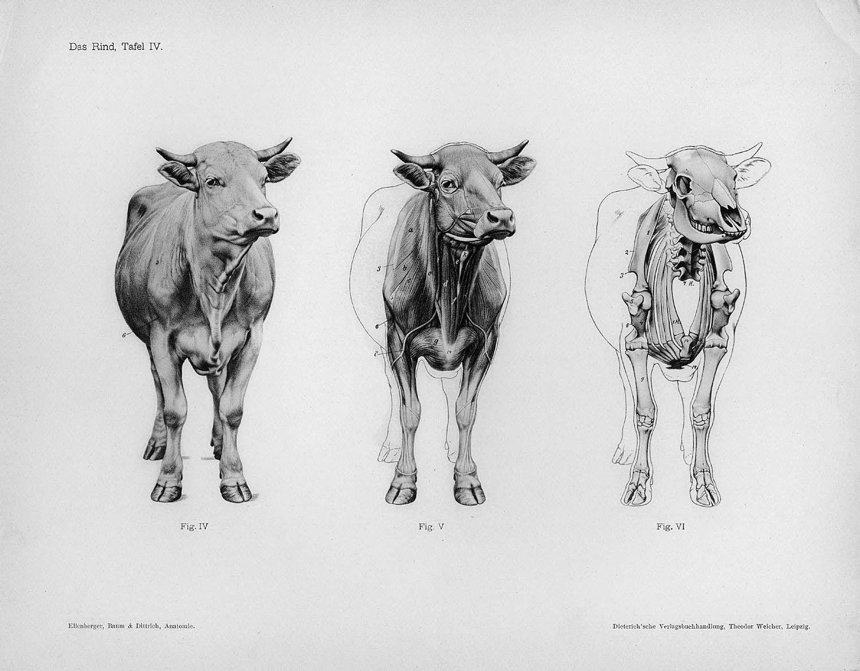 0028x.jpg (1500×1170) | Animal Anatomy | Pinterest | Tier