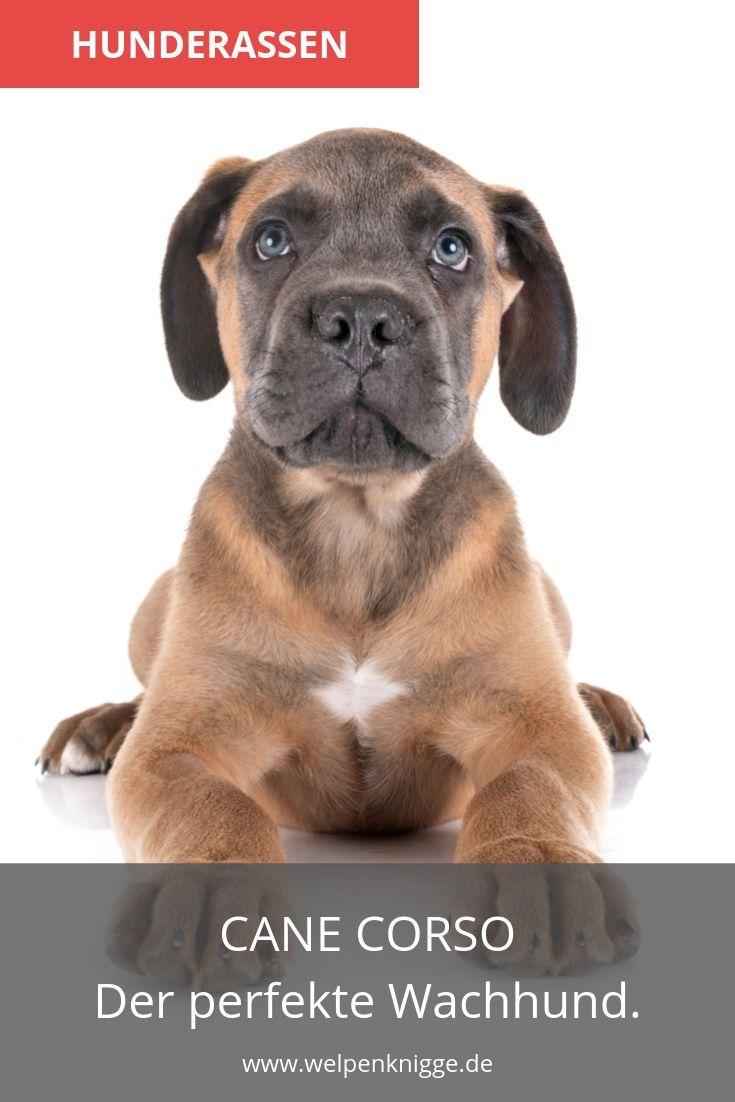 Cane Corso Welpen Hunde Rassen Hunde Welpen