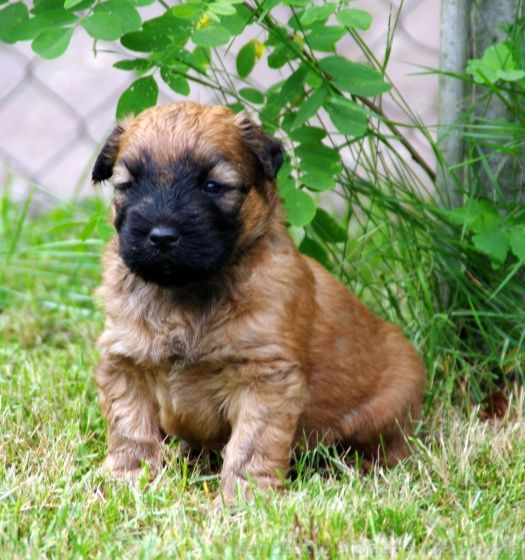 Irish Soft Coated Wheaten Terrier Puppy Kennel Fantastic Ger Via Snautz De Wheaten Terrier Terrier Hunde