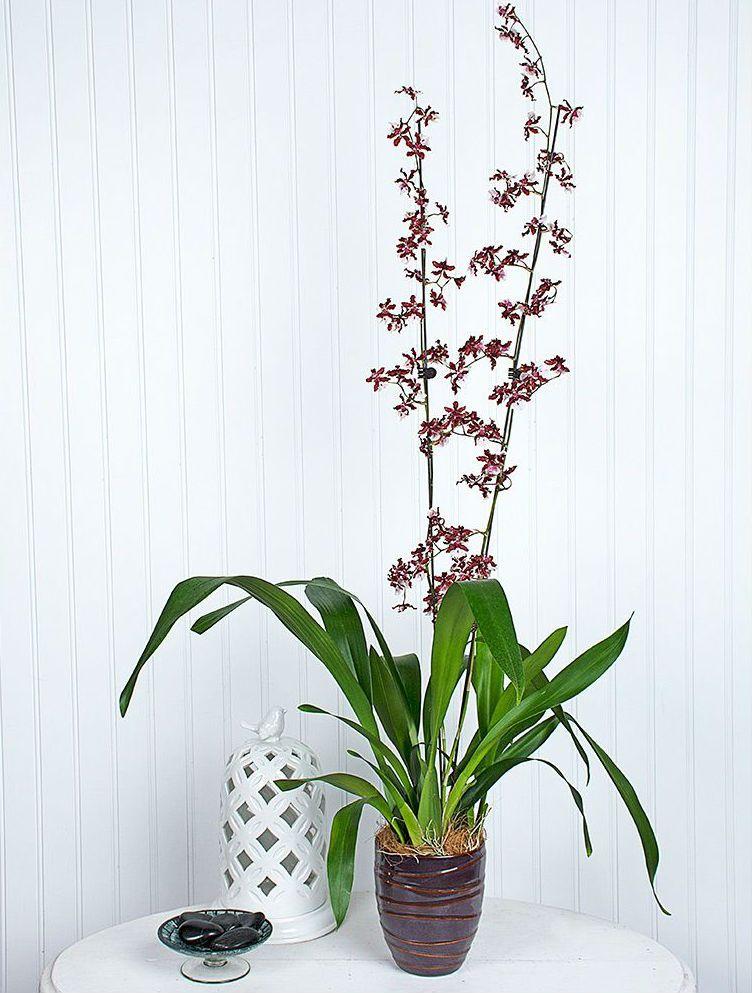 Oncidium Sharry Baby How to Grow a Chocolate Orchid
