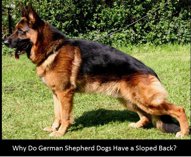 Why Do German Shepherds Have A Sloping Back Types Of German