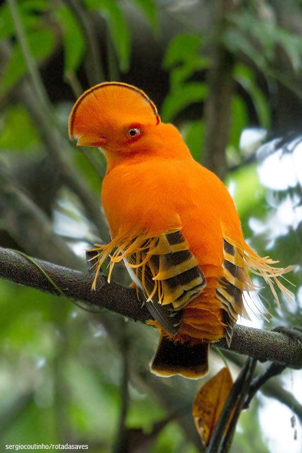 Guianan Cock-of-the-rock {male} (Guyana, Columbia, Venezuela, Suriname, French Guiana, and Brazil)정선카지노 SK8000.COM 정선카지노 정선카지노정선카지노 정선카지노
