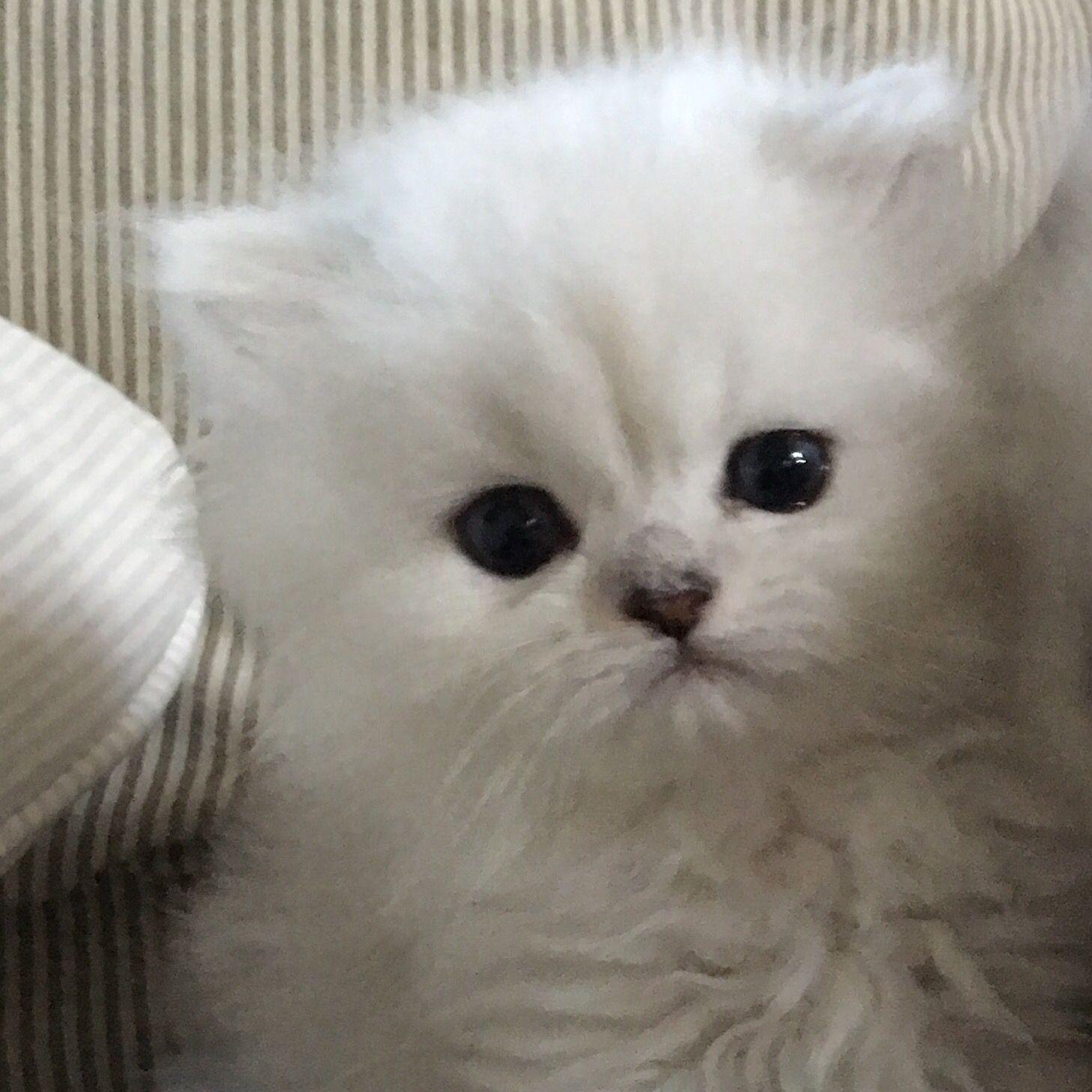 Pin by Powderpuff Persians on PowderpuffPersians com | Teacup kitten