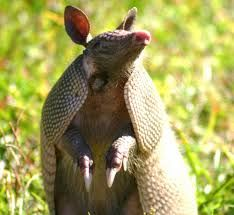 Image result for armadillo