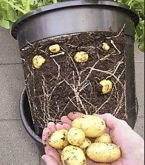 kartoffeln im blumentopf garten pinterest kartoffeln g rten und pflanzen. Black Bedroom Furniture Sets. Home Design Ideas
